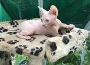 Necesitando siempre el hogar para mi gatito de Sphynx (925) 289-7236